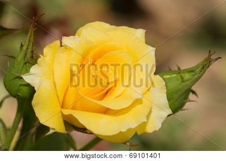 Closeup of a bright yellow rose growing in summer garden