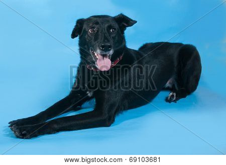 Black Dog In Red Collar Lies On Blue