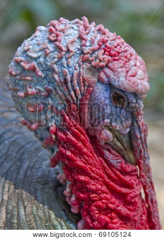 Tom Turkey Close Up
