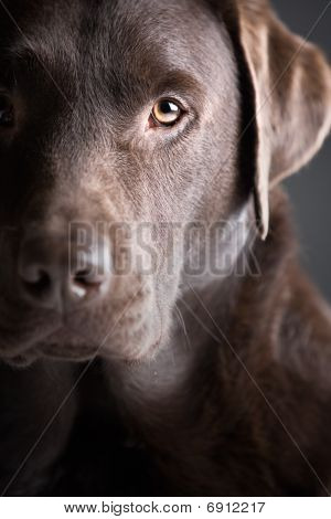 Head Shot Of A Handsome Labrador