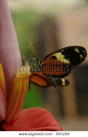 The Ecuadorian Butterfly Sitting On The Banana Flower