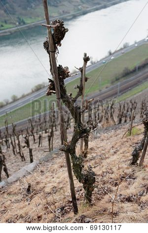 Old riesling vine, Moselle river valley, Germany