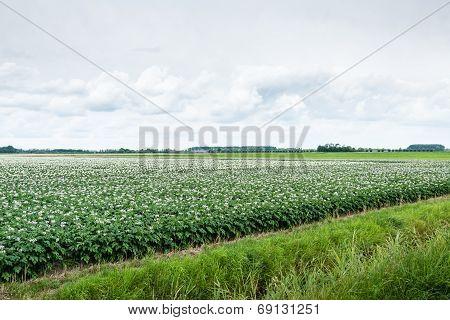 Typical Dutch Landscape With Flowering Potato Plants