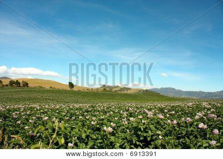 Campos plantaram com batatas em flor