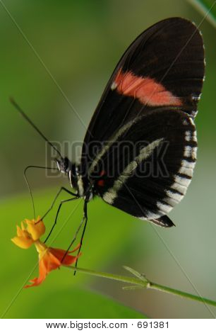 The Ecuadorian Butterfly Sitting On The Flower
