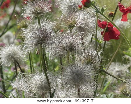 Fluffy And Spiky Flowers With Poppy