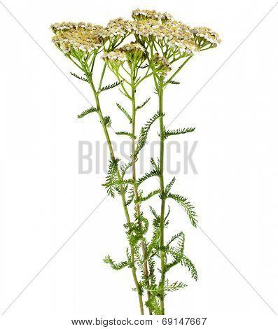 Milfoil herbal medicine , Yarrow ( Achillea millefolium L. )