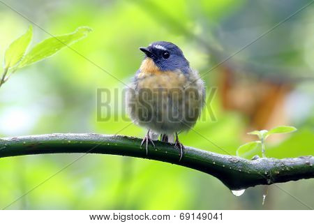Snowy Browed Flycatcher Ficedula Hyperythra