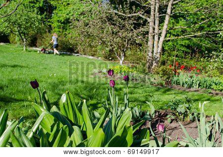 Garden Spring Tulip And Woman Cutting Grass