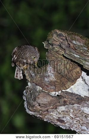 An Asian Barred Owlet Feeding Its Baby