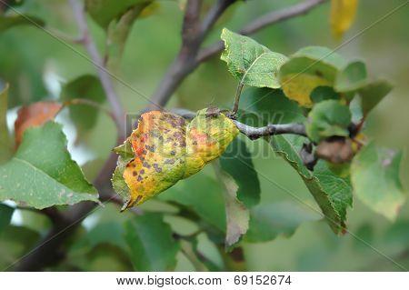 Plum Moth Disease- Grapholita Funebrana