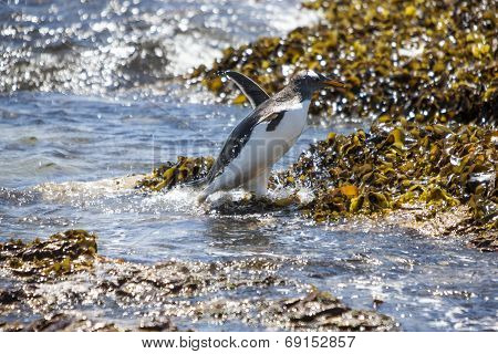 Gento Penguin In Action When It Comes Out Of The Water