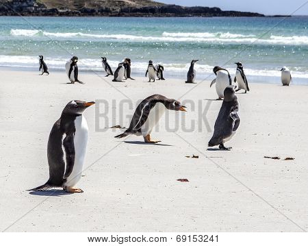Penguins Under Discussion At Falkland Islands
