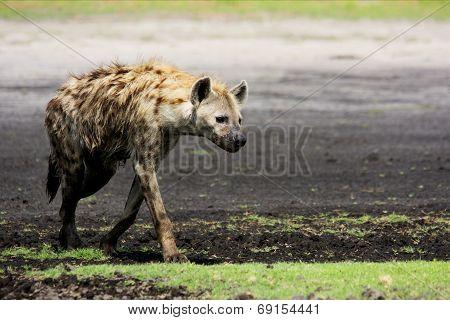 Hyena Walking on Liuwa Plains, Zambia, Africa