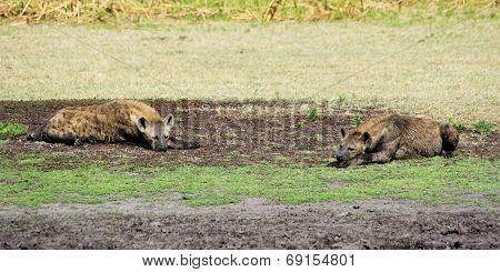Two Hyenas Relaxing and Sunbathing on Liuwa Plains, Zambia, Africa
