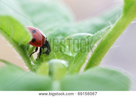 Ladybird On Leaf With Raindrop