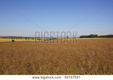 Ripe Canola Field