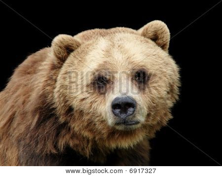Close-up Sad Grizzly Bear Looking At Camera Isolated On Black