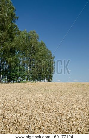 Open Wheat Field With Trees In Background - Summer Scene