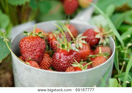 Strawberries in an old metal pot shot after gathering