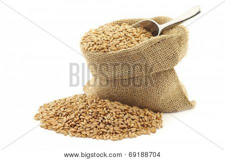 spelt in a burlap bag with an aluminum scoop on a white background