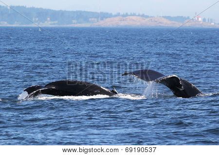 Mom and Baby Humpback Whales Diving