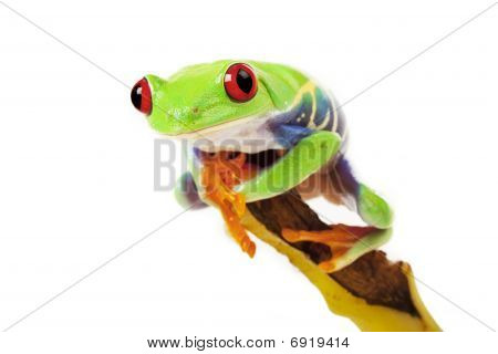 Green Frog on Banana