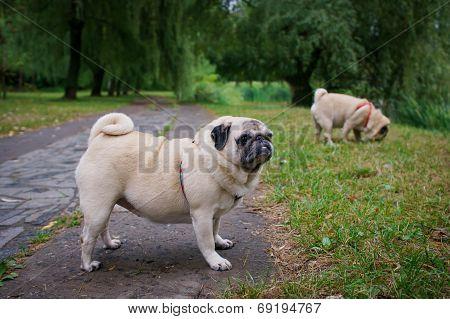 Two Little Pugs Walking Outdoors