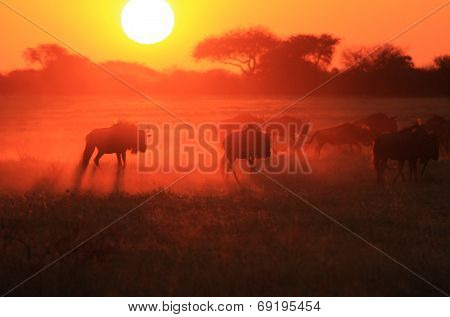 Sunset Silhouette - African Wildlife Background - Blue Wildebeest Run