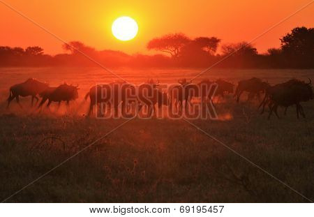 Sunset Silhouette - African Wildlife Background - Blue Wildebeest Shadows