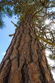 picture of pinus  - A Ponderosa Pine  - JPG