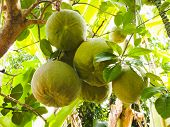 stock photo of pomelo  - Group of green raw pomelo fruits on tree - JPG