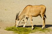 stock photo of eland  - One common eland Taurotragus oryx feeding on grass - JPG