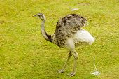 stock photo of feces  - The greater rhea Rhea americana here seen leaving its marks on the grass - JPG