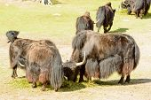 picture of yaks  - Yak Bos grunniens here seen feeding on pile of grass - JPG