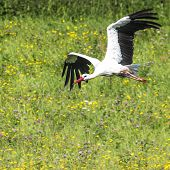 image of stork  - A Stork in flight in Suwalki Landscape Park Poland - JPG