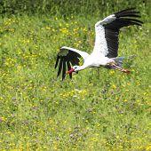 foto of stork  - A Stork in flight in Suwalki Landscape Park Poland - JPG