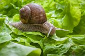 pic of garden snail  - Slug in the garden eating a lettuce leaf. Snail invasion in the garden