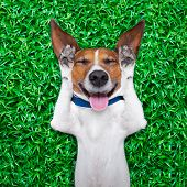 stock photo of laugh out loud  - dog lying on grass with silly crazy dumb expression on face sticking out tongue and laughing out loud - JPG