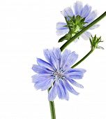 stock photo of chicory  - Common chicory flower Cichorium intybus  isolated on white background - JPG
