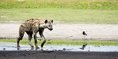 foto of nocturnal animal  - Hyena in Shallow Water - JPG