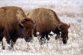 image of tallgrass  - Bison graze on grasses coated in frost and snow - JPG