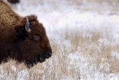 pic of tallgrass  - A bison grazes on grasses coated in frost and snow - JPG