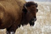 image of tallgrass  - A bison looks back while standing on a stretch of snowy prairie - JPG