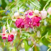 stock photo of pompous  - blossoming red and white a fuchsia flower outdoor background `Mood Indigo` closeup ** Note: Shallow depth of field - JPG