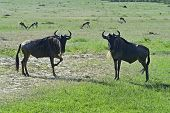 pic of wildebeest  - Wildebeest in Masai Mara National Park - JPG