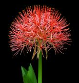 picture of fireball  - Close up of Fireball lily over Black background - JPG