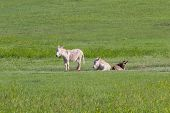 stock photo of burro  - wild burros in the grass lands of Custer state park South Dakota - JPG