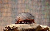 pic of armadillo  - Armadillos are New World placental mammal with a leathery armor shell - JPG