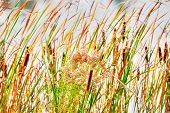 stock photo of cattail  - Cattails and Reeds in wind great for background - JPG